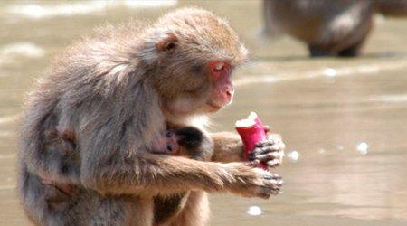 """""""Эффект сотой обезьяны"""" - мистификация века или научный прорыв?"""